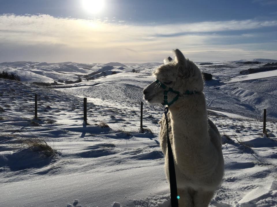 An alpaca on a snowy trek in the Scottish Borders.