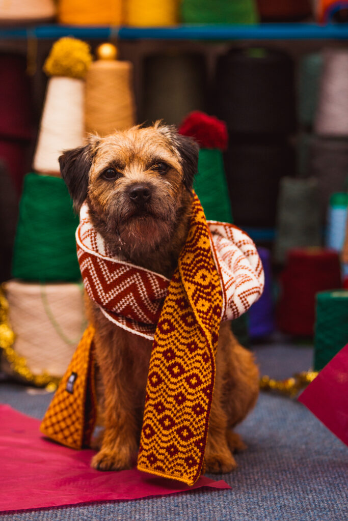 Ruaridh the Border Terrier wearing a knitted Wonky Woolies scarf.