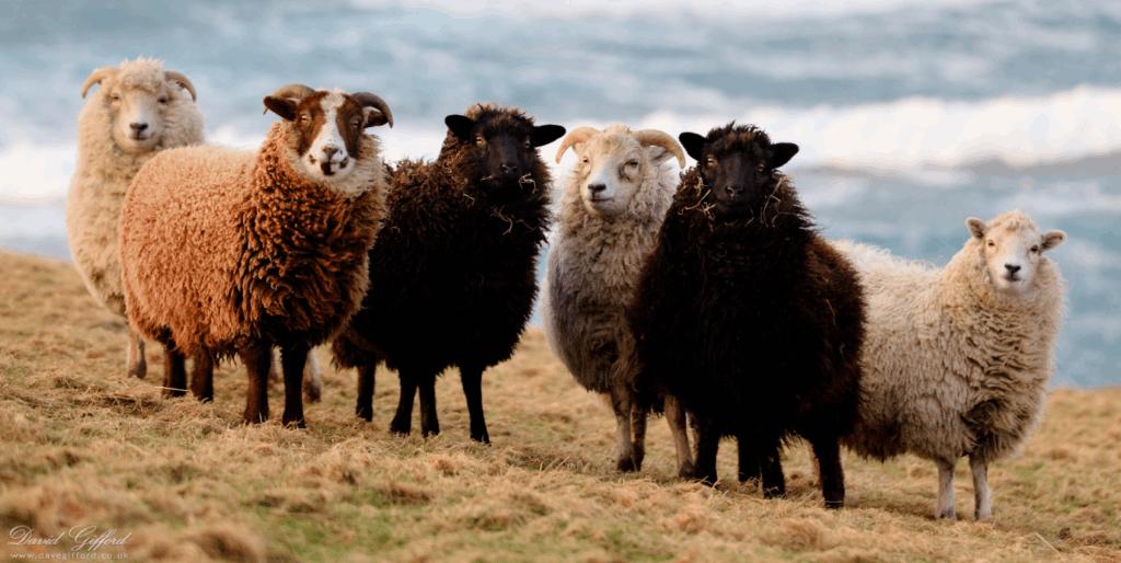 A flock of Shetland Sheep.